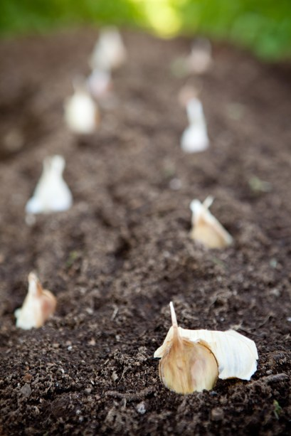 garlic in the ground
